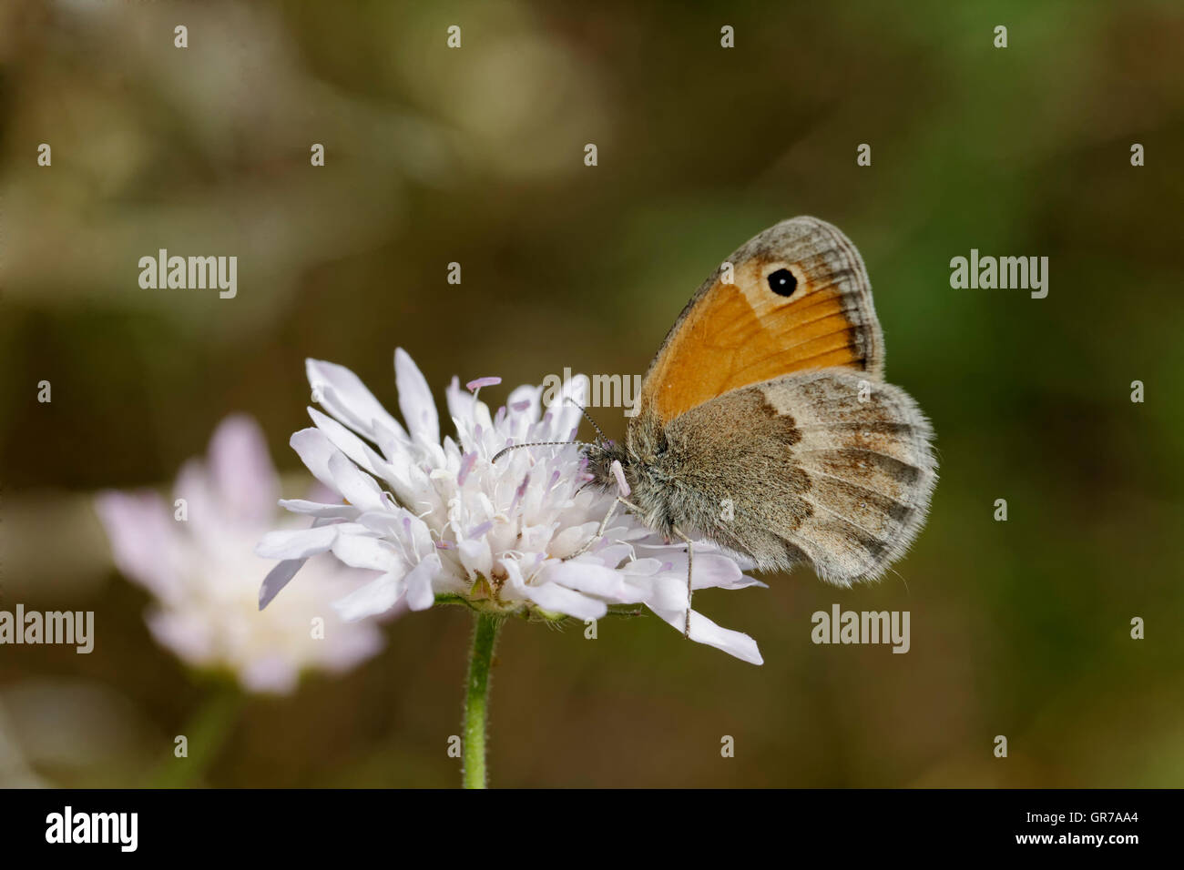 Coenonympha Pamphilus, Small Heath Butterfly, European Butterfly - Stock Image