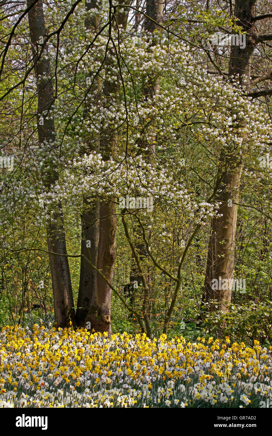 Blossoming Tree With Daffodills In Spring, Netherlands, Europe Stock Photo