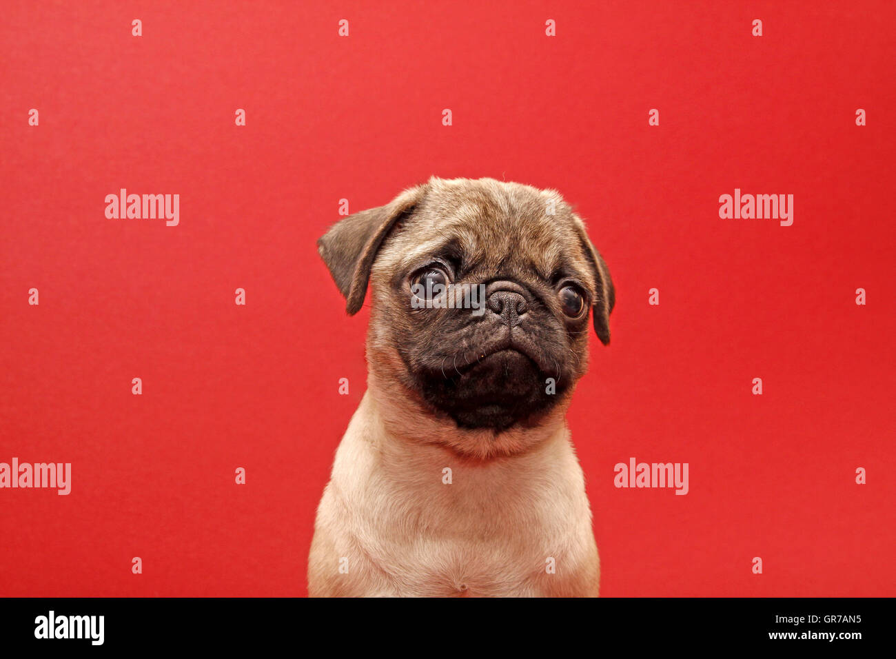 Young 10 Weeks Old Pug - Stock Image