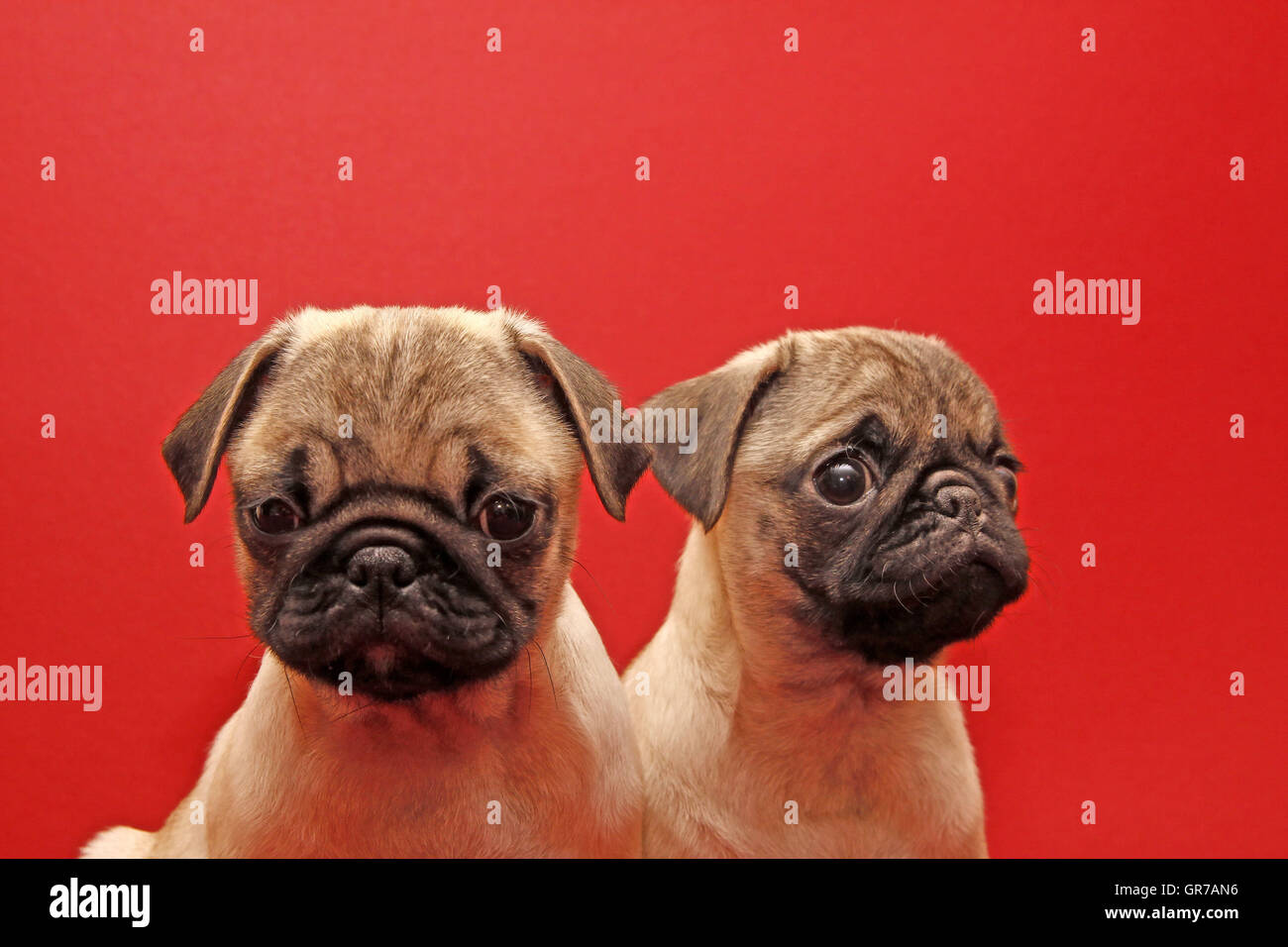 Two Young 10 Weeks Old Pugs - Stock Image