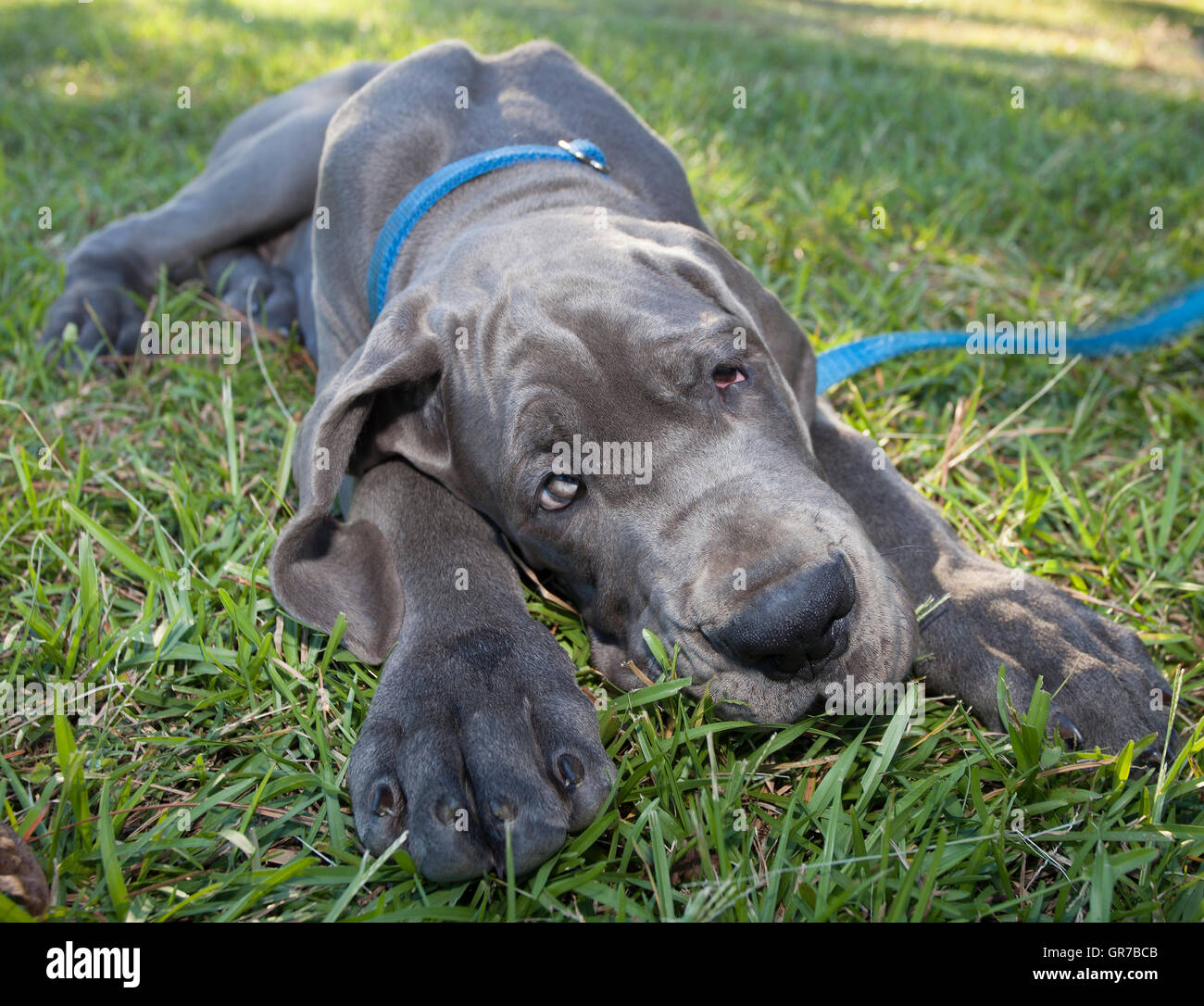 how to train a great dane puppy