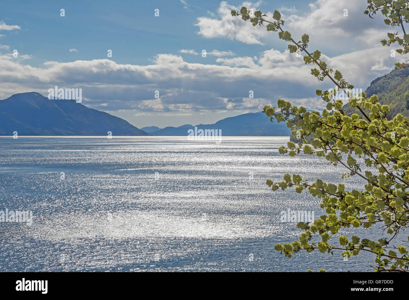 Fruit Tree Bloom By The Hardangerfjord In Norway - Stock Image
