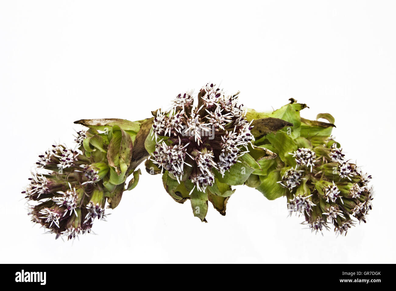 Petasites Paradoxus Against White Background - Stock Image