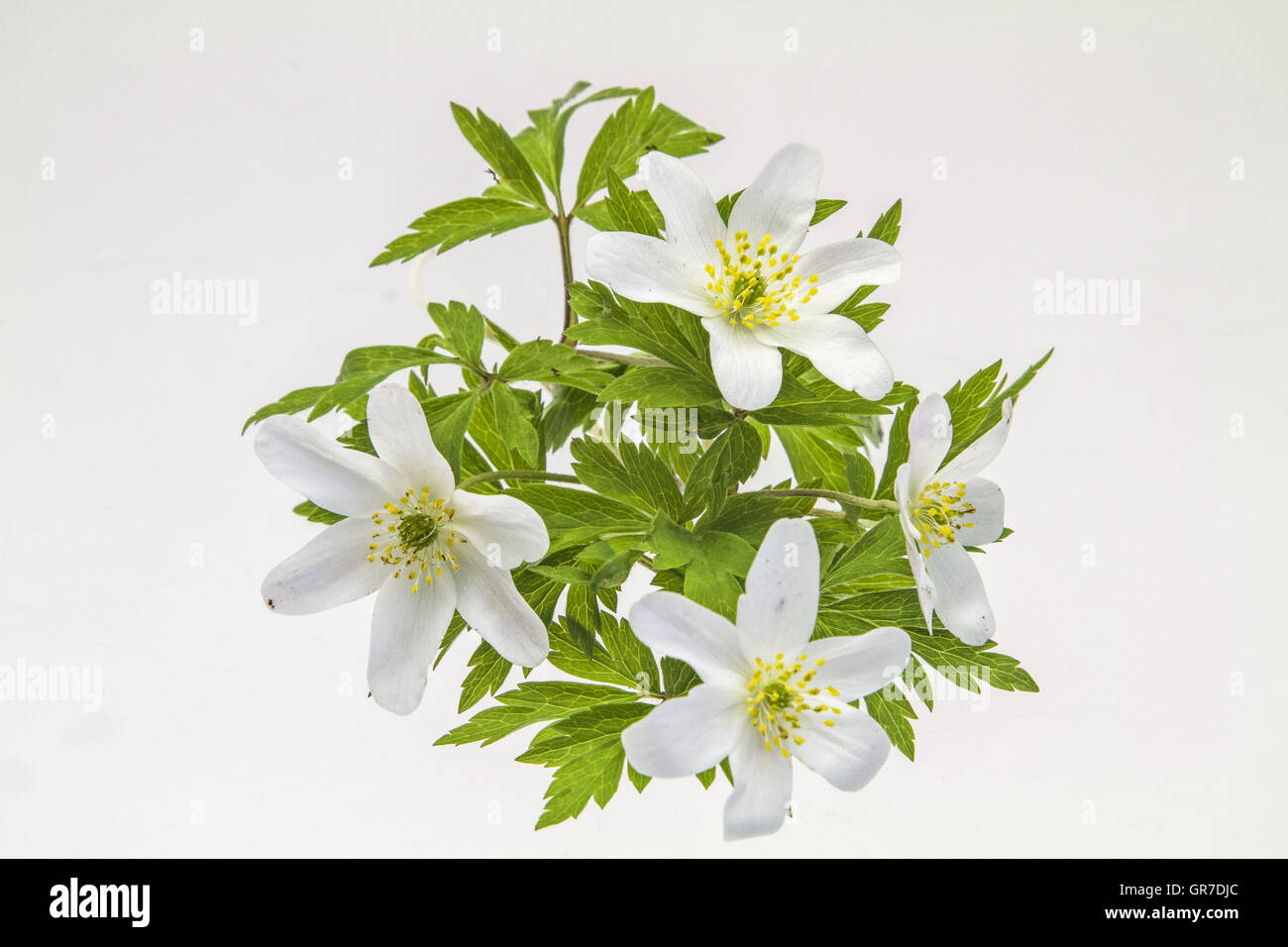 Wood Anemone Blossoms And Leaves Against A White Background - Stock Image