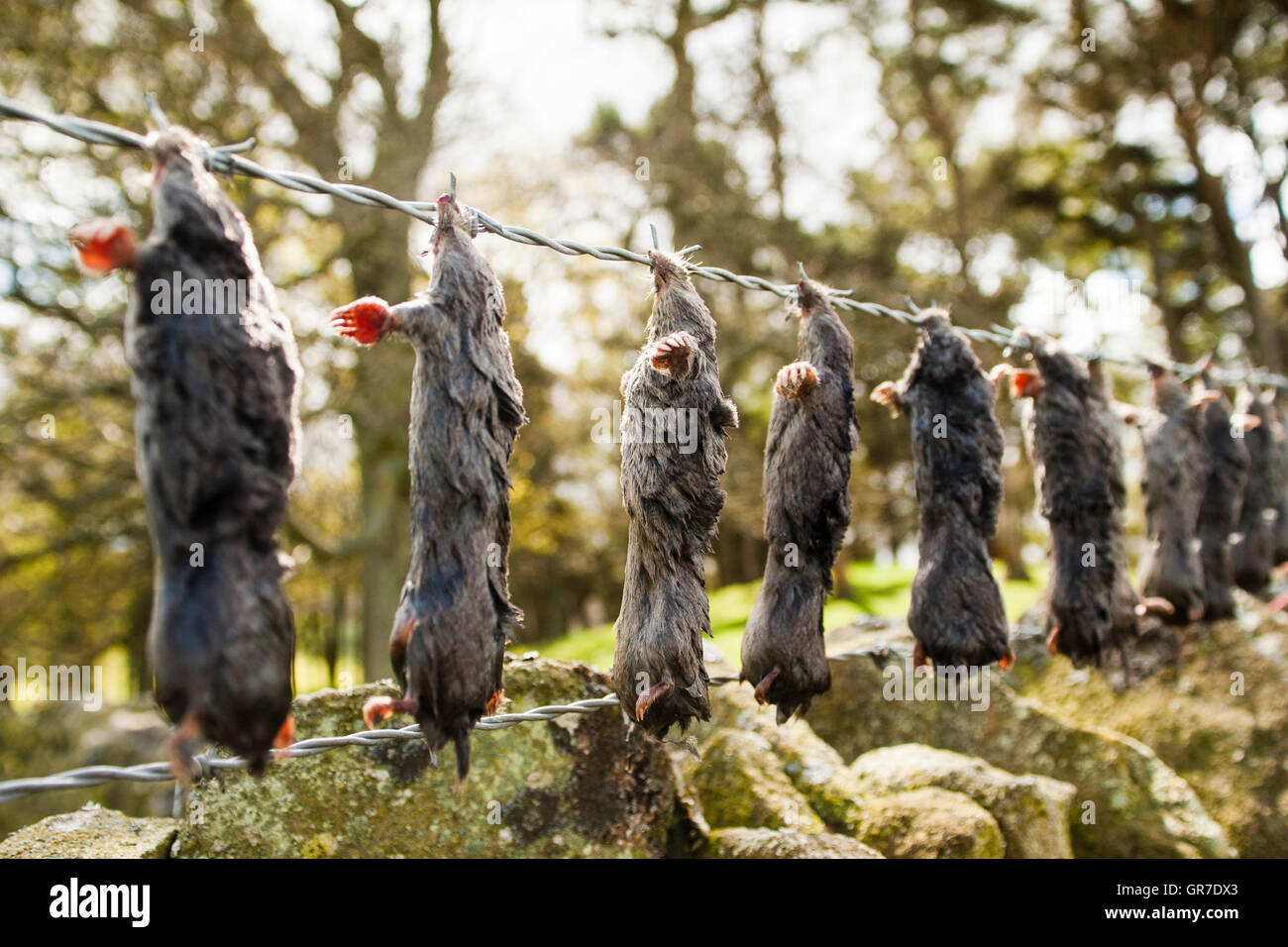 Dead European Moles (Talpa europaea) hung up on barbed wire fence, a so called murder rail, North Pennines, England, - Stock Image