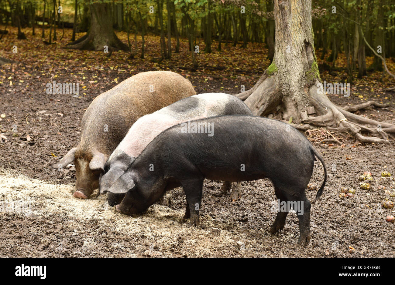 Forest Hogs - Stock Image
