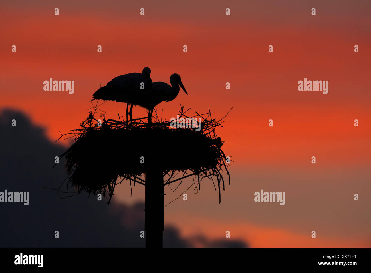 White Stork (Ciconia ciconia) adult pair on artificial nesting poles at sunset, Caceres province, Extremadura, Spain Stock Photo