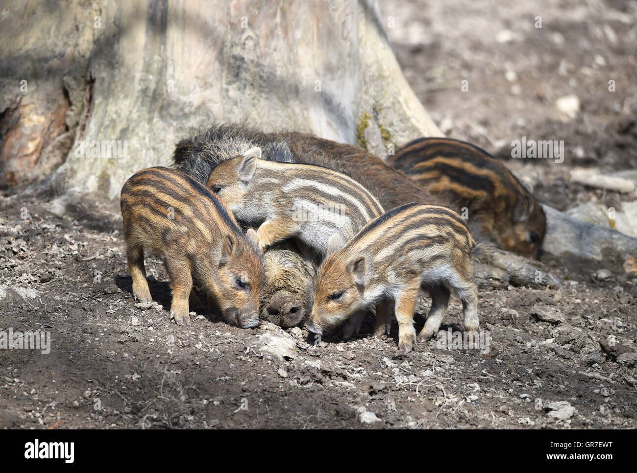 Piglet And Sleeping Boar - Stock Image