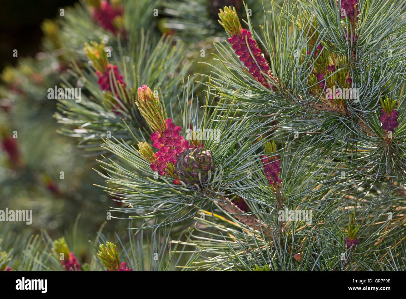 Schwarz-Kiefer, Schwarzkiefer, Kiefer, Blüte, Blüten, Pinus nigra, Pinus austriaca, Black Pine - Stock Image