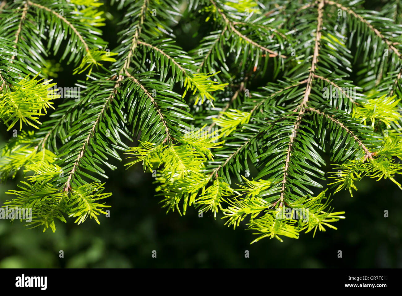 Weiß-Tanne, Weißtanne, Weisstanne, Edeltanne, Silbertanne, Tanne, Abies alba, European silver fir, silver - Stock Image