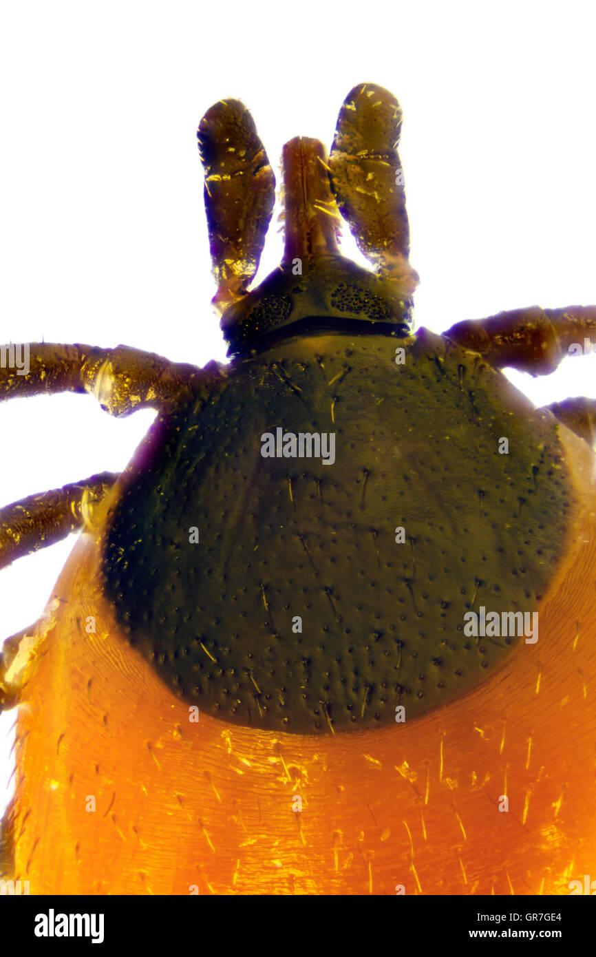Micro Photo Of A Tick - Stock Image