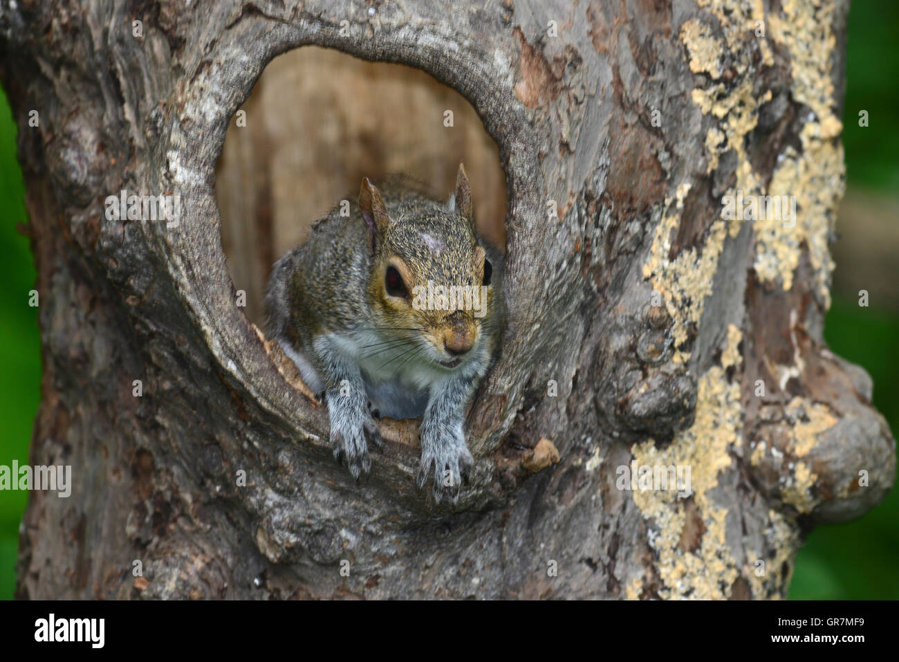 A grey squirrel coming out of a hole in a tree trunk UK - Stock Image