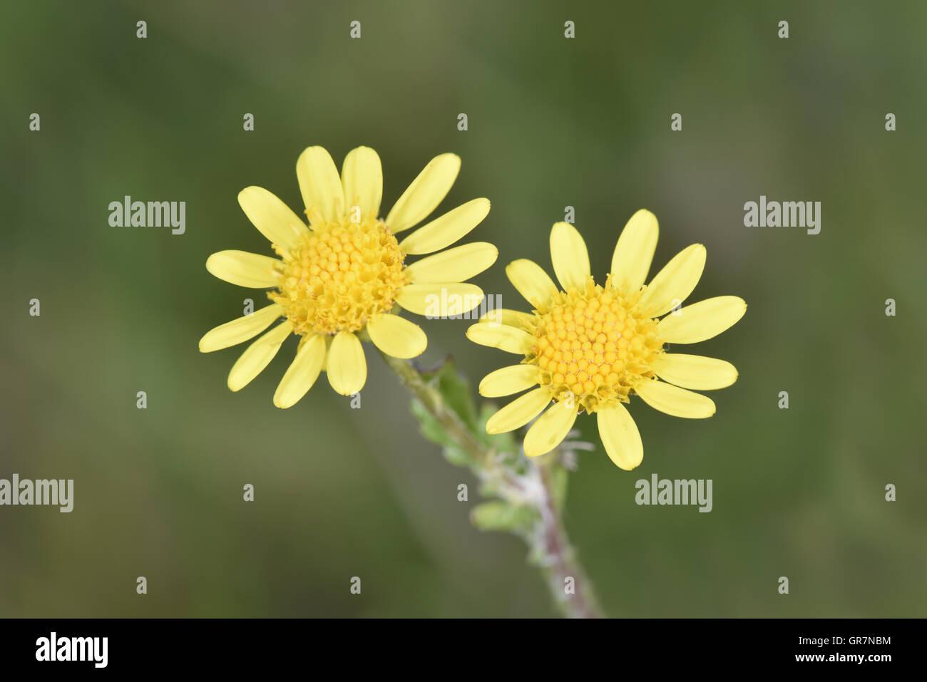 Marsh Ragwort - Senecio palustris - Stock Image