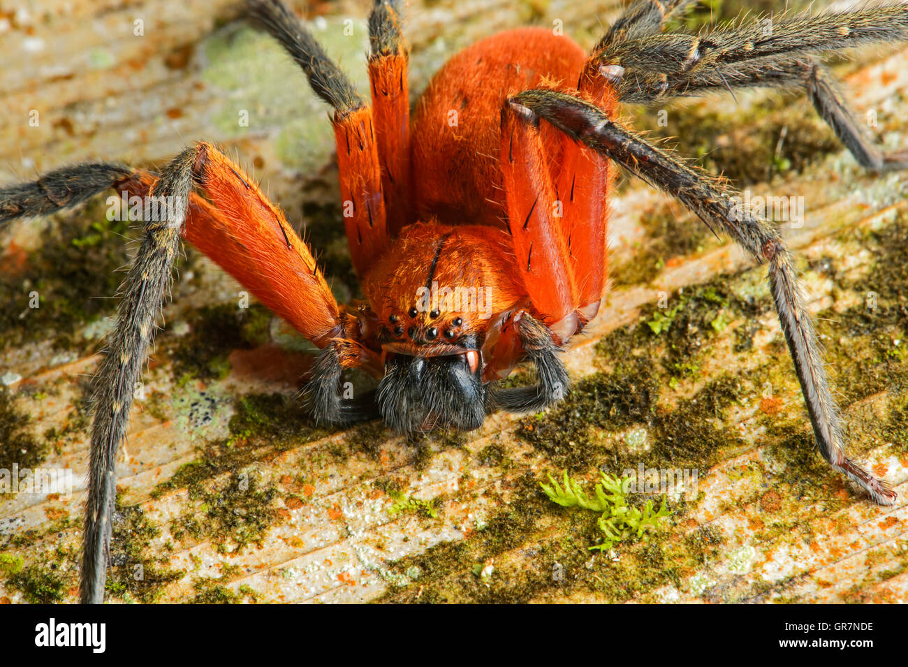 Giant Crab Spider, Amazon Rainforest, Ecuador - Stock Image