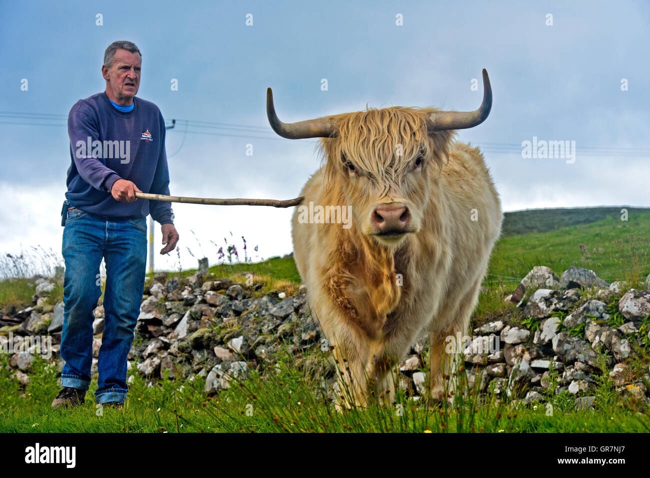 Crofter With Escaping Scottish Highland Cattle Or Kyloe, Assynt, Scotland, Great Britain - Stock Image