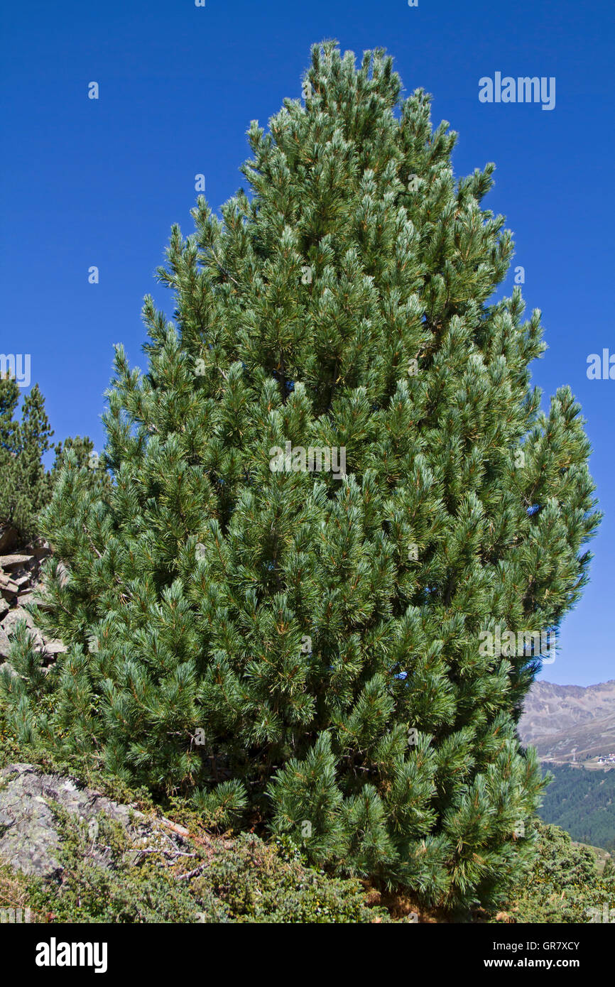The Arve, Also Called Stone Pine Is At Home In The Highlands Of The Alps - Stock Image