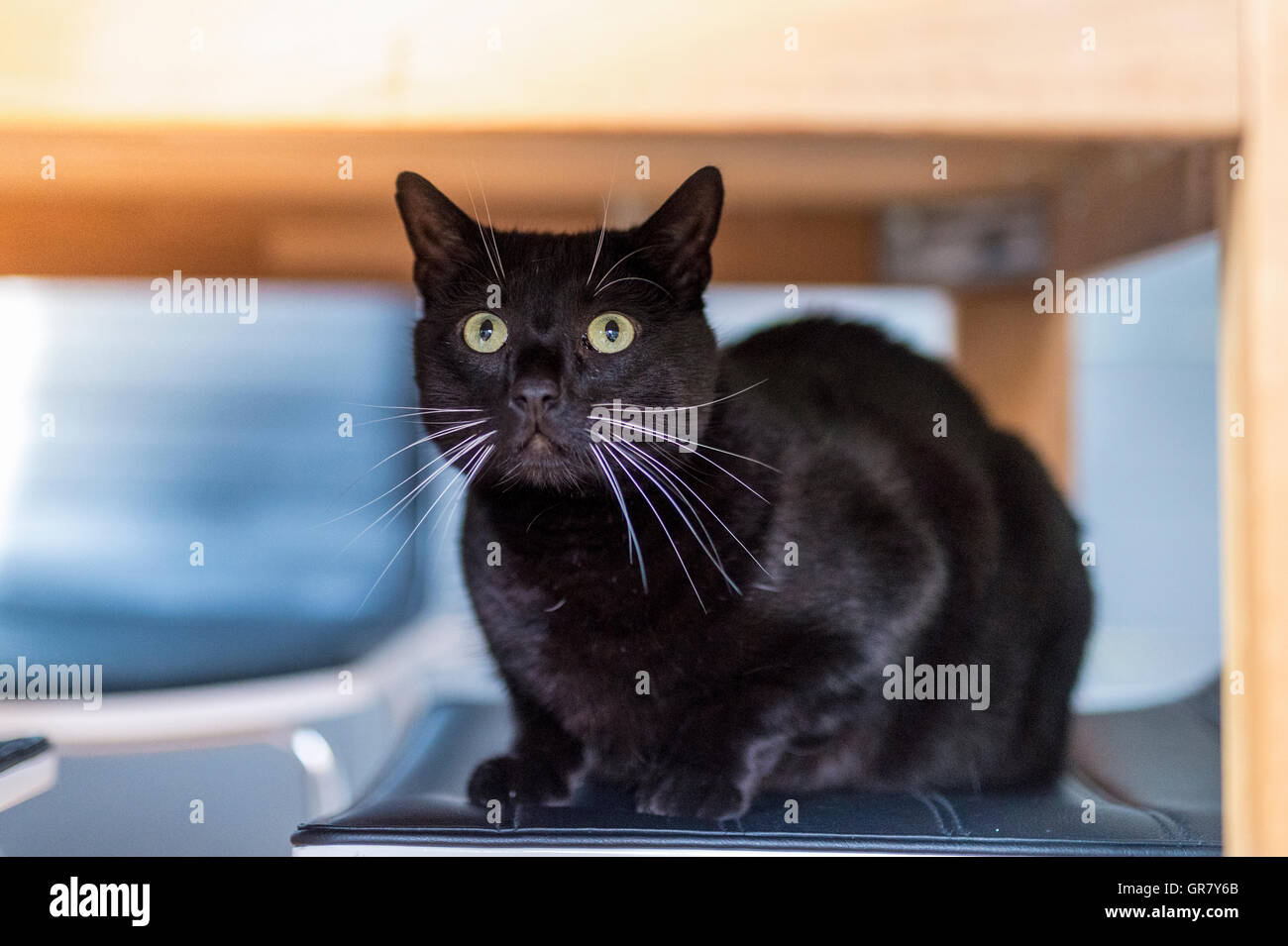 A Black Cat Sitting Under The Table - Stock Image