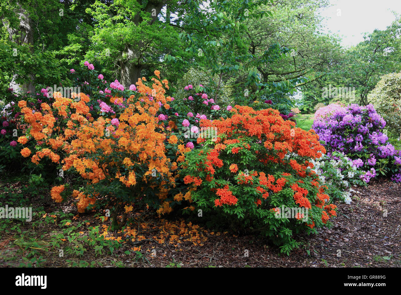 Rhododendrons, rhododendron, plant type from the family of the heather plants, Ericaceae, rhododendron bushes in - Stock Image