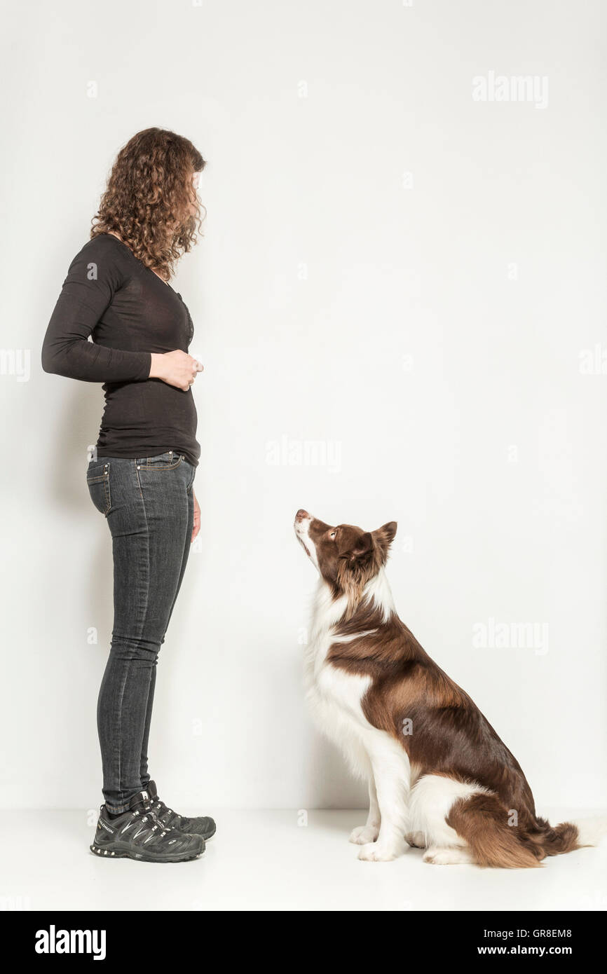 Obedience Of A Border Collies In Studio Against A White Background - Stock Image