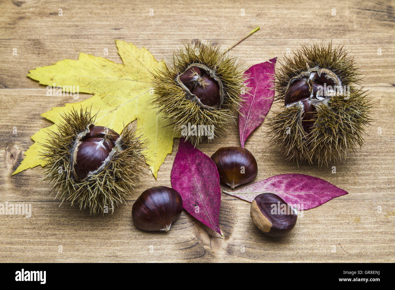The Chestnut Is A Tasty And Popular Fruit Tree - Stock Image