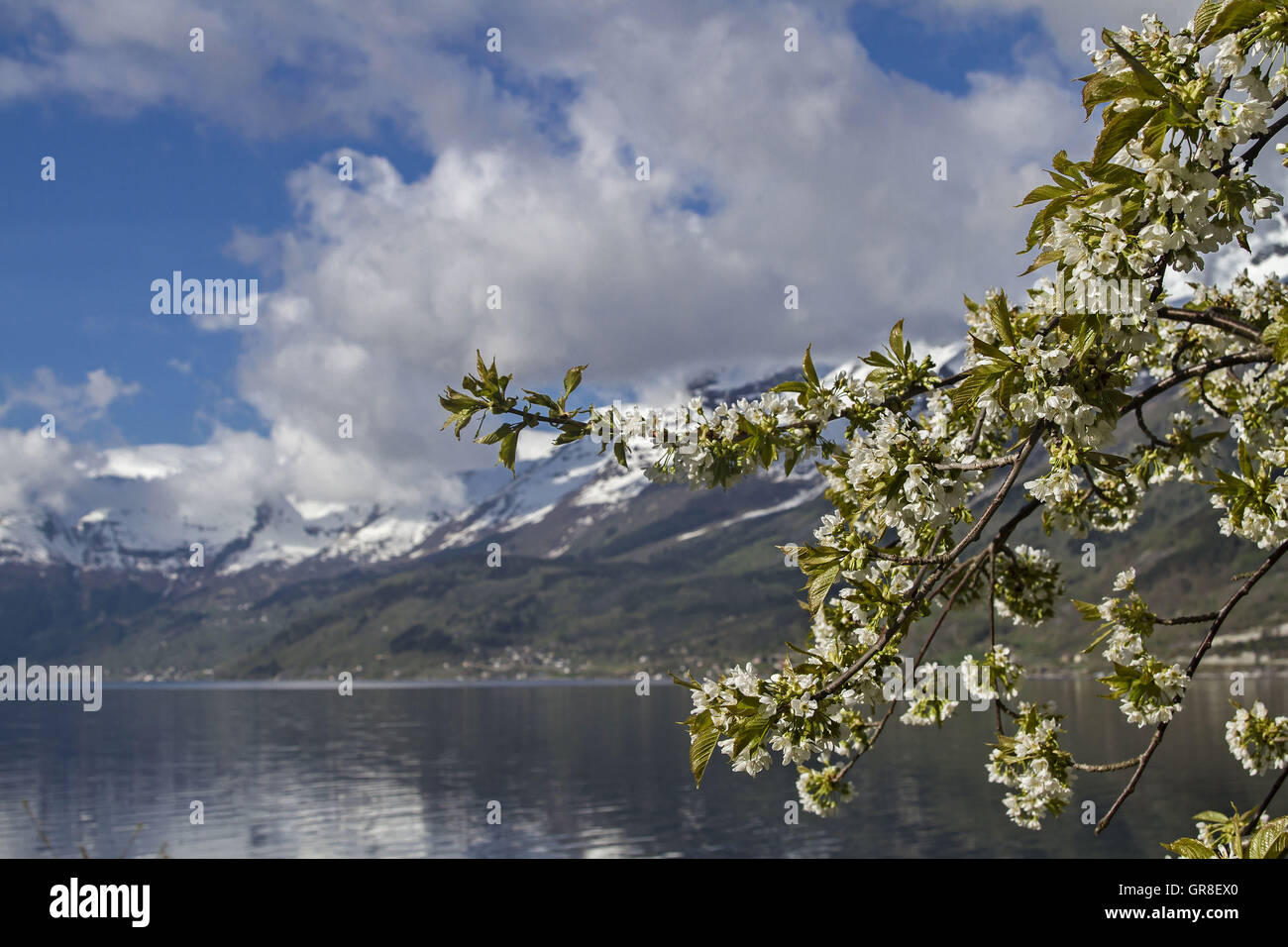 Fruit Tree Blossom Lofthus In Norway - Stock Image