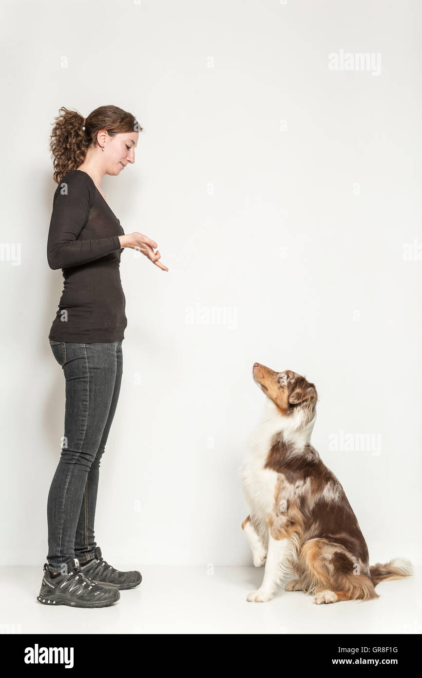 Obedience Exercises Of An Australian Shepards In Studio Against White Background - Stock Image