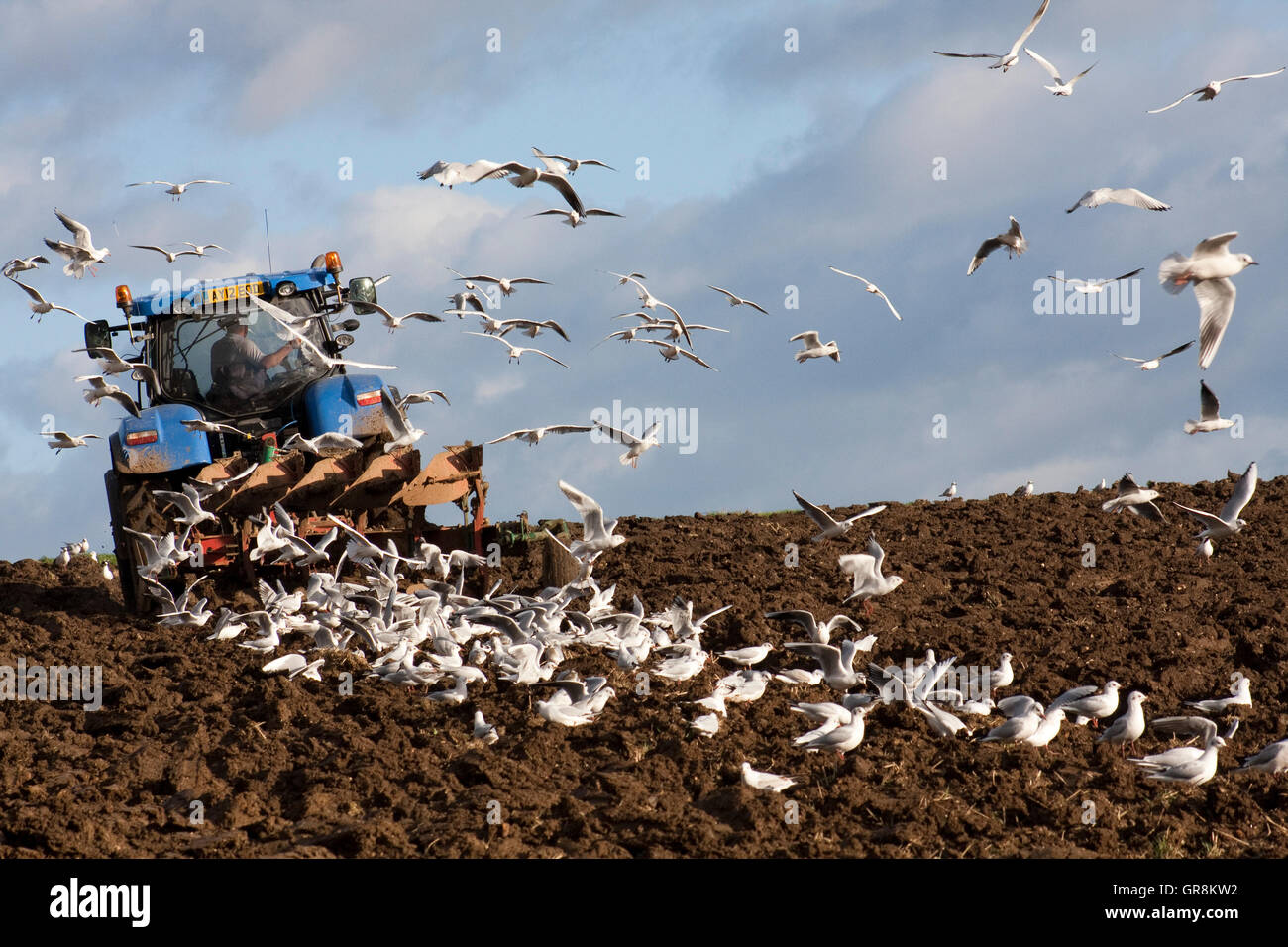Very traditional scene of seagulls following a ploughing tractor Stock Photo