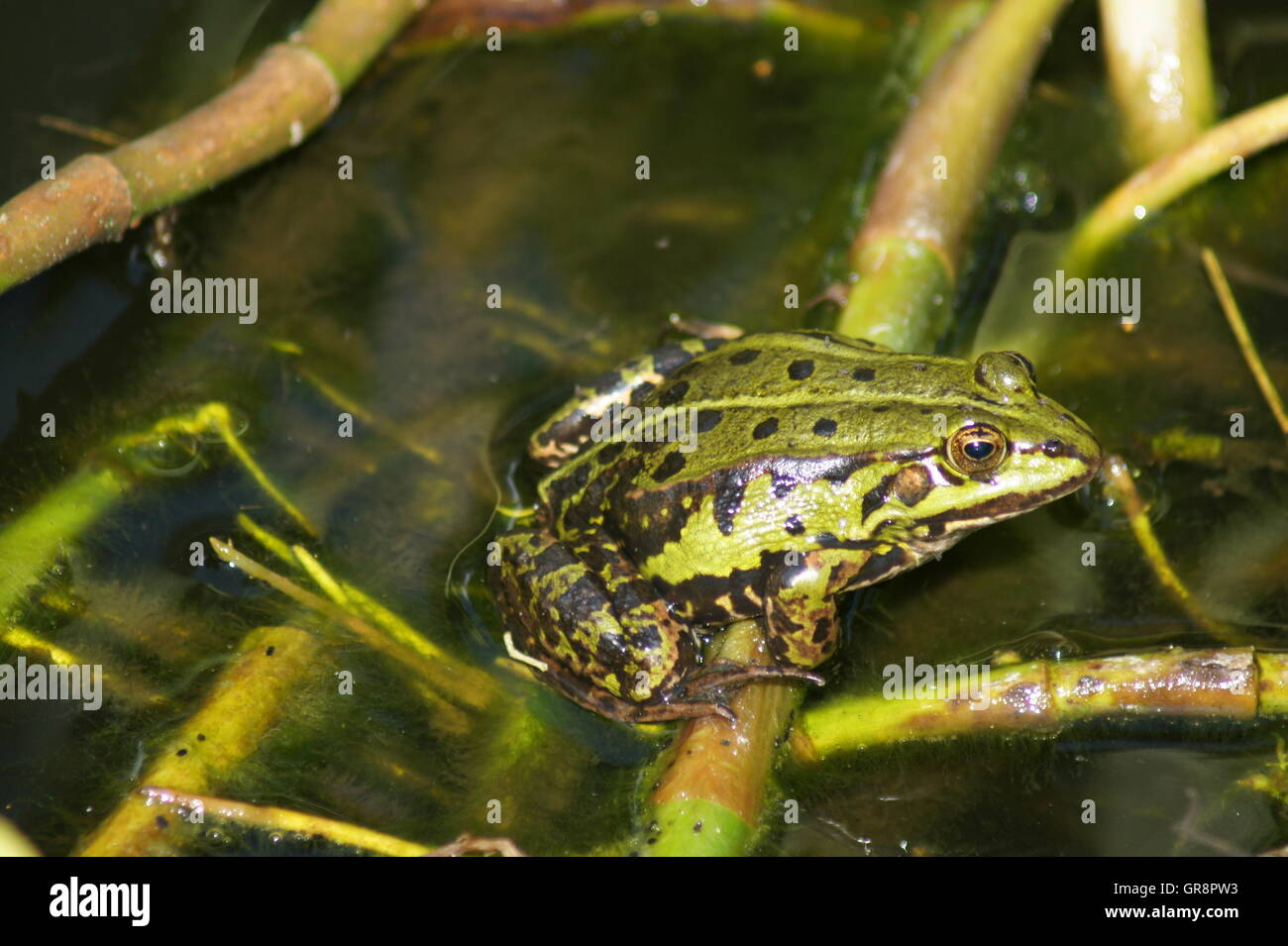Pond Frog Pelophylax Kl. Esculentus - Stock Image