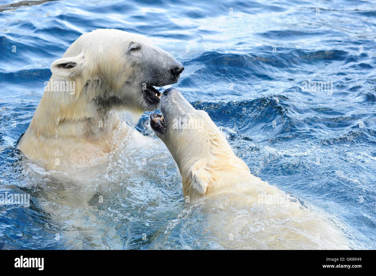 Game Polar Bears In The Water-Tiergarten Schönbrunn Stock Photo