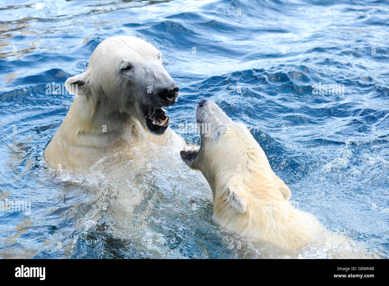 Game Polar Bears In The Water-Tiergarten Schönbrunn Stock Photo