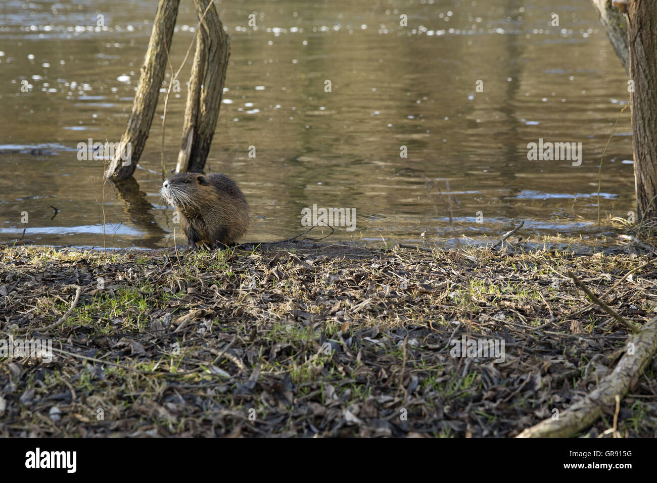 Beaver On The Banks Of The Saale, Thuringia - Stock Image