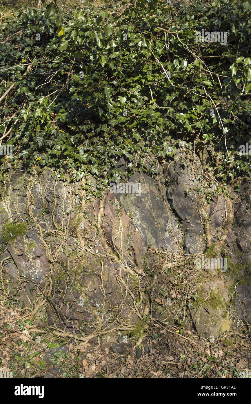 Meinten Sie Efeu Wurzeln Im Gestein Efeuwurzeln In The Rock - Stock Image