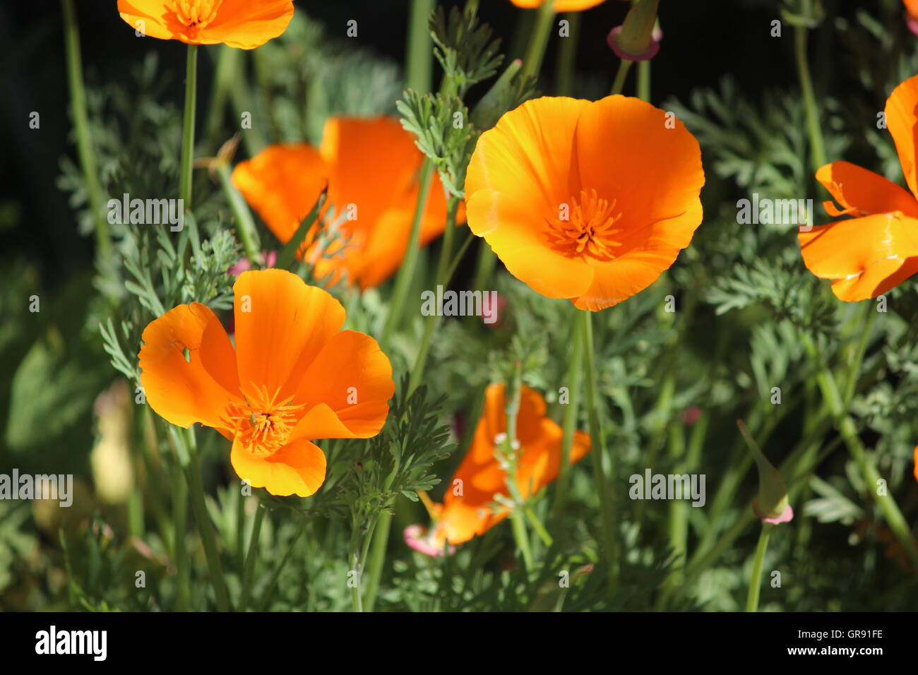 Close Up Of Fresh Orange Poppy Flowers In Sand Le Mere Stock Photo