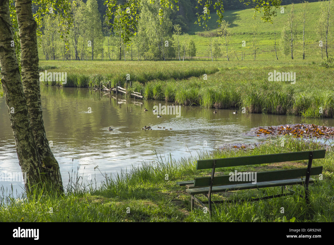 Uck Family, A Bank And A Birch At The Inlet Of The Lower Pond In Stiege, Harz, Sachsen.Anhalt, Germany, Europe - Stock Image