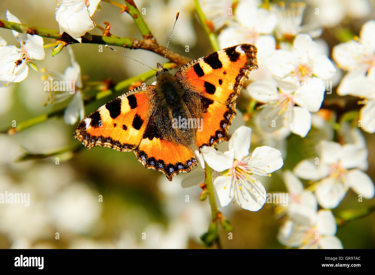 Small Tortoiseshell Butterfly In The Spring On Hawthorn Flowers - Stock Image