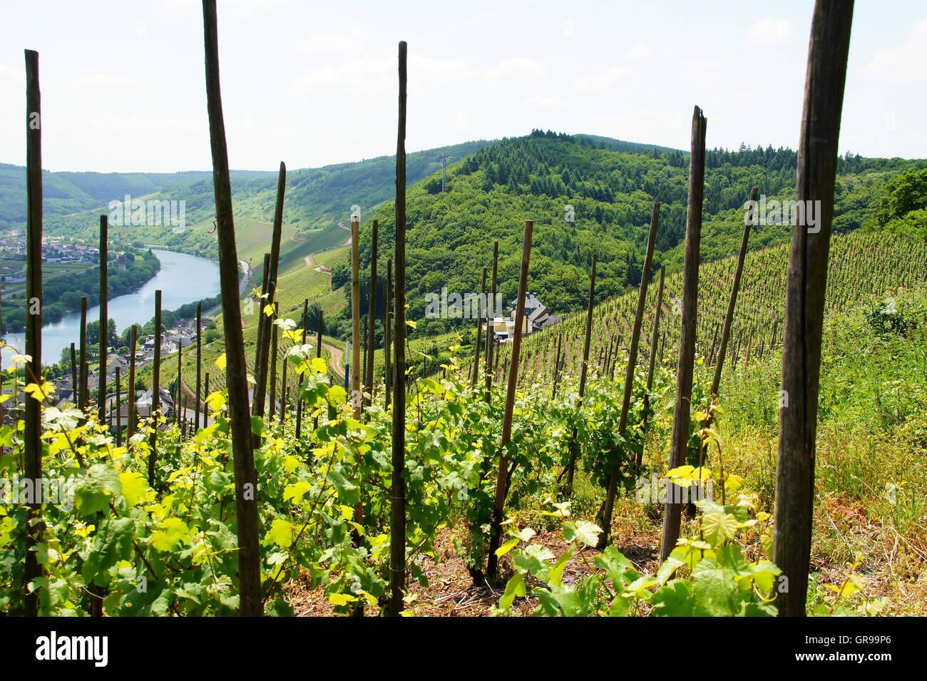Vineyard Ürziger Würzgarten, The Left Margin Zeltingen - Stock Image