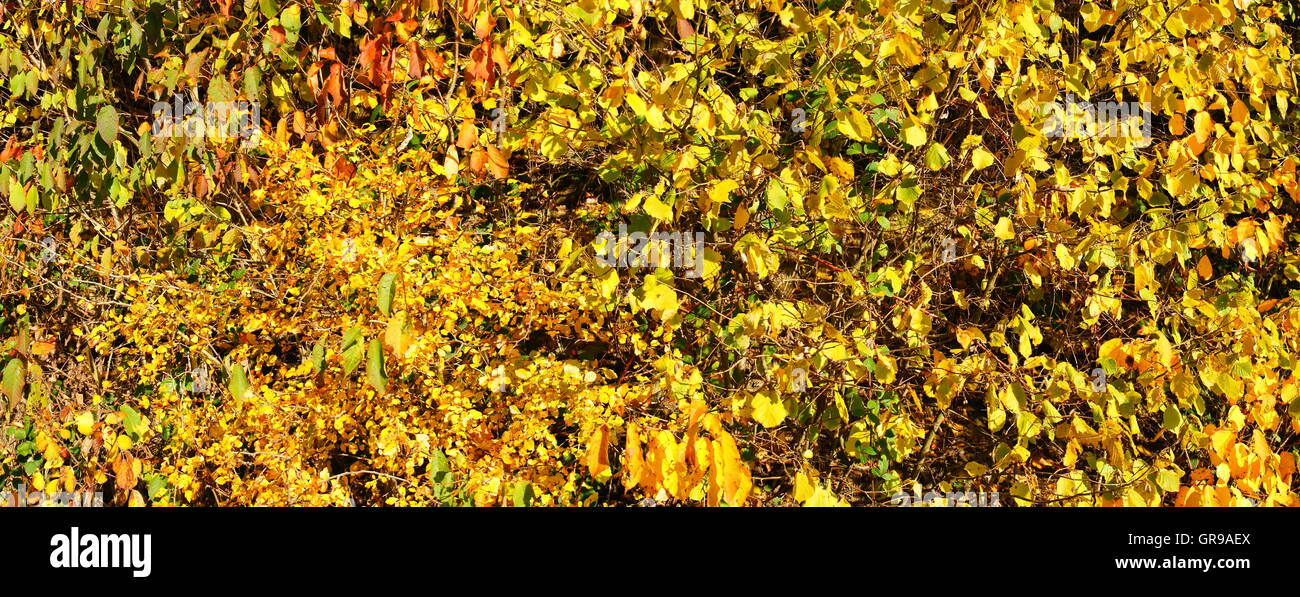 Colorful Scrub In Autumn Panorama Background - Stock Image