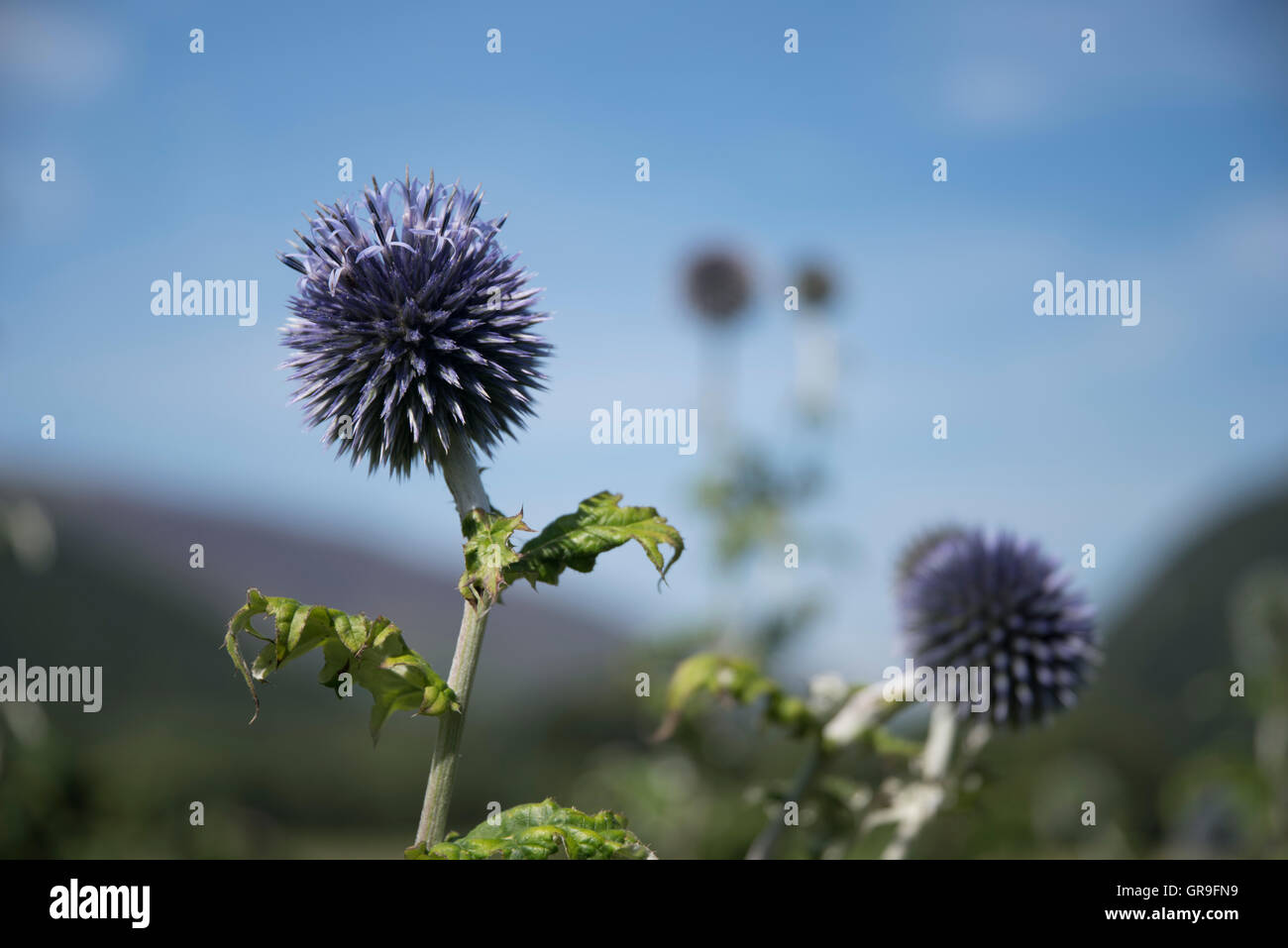 Echinops ritro Taplow Blue ( Globe Thistle ) growing in the Borrowdale Valley, Lake District, Cumbria, UK - Stock Image