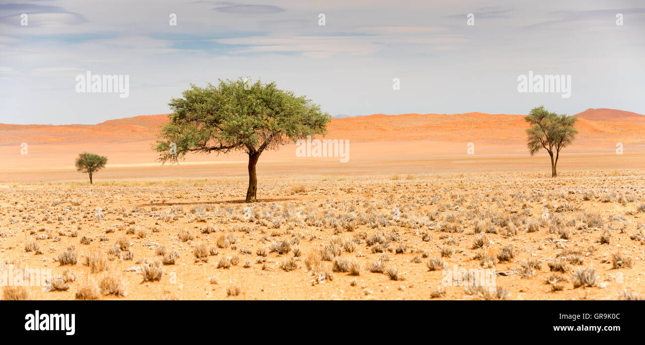 Acacia Trees In Namib Desert Stock Photo