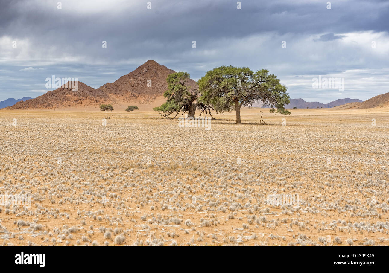Landscape With Acacia, D707, Namibia - Stock Image