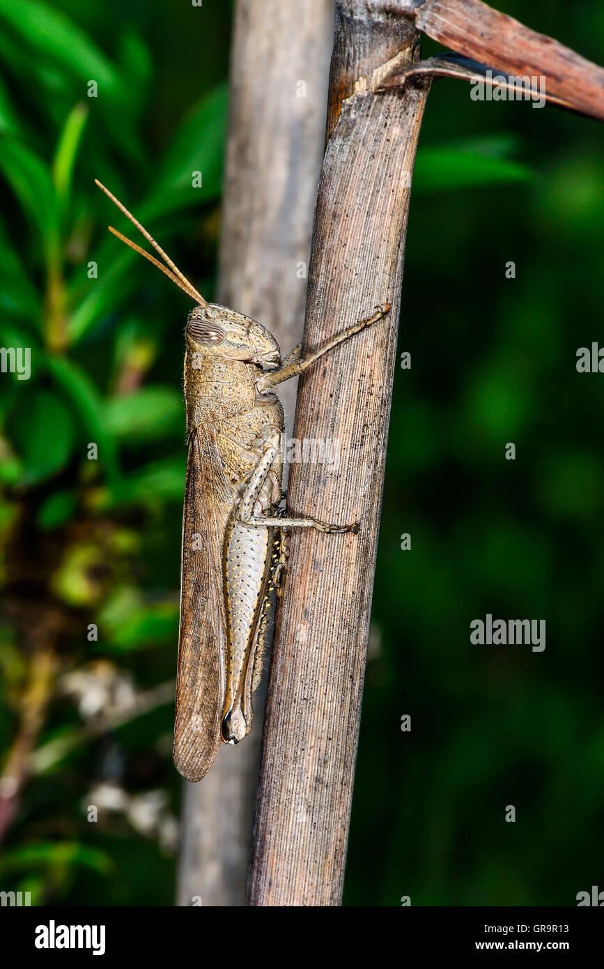 Mischievous Bird Grasshopper - Stock Image
