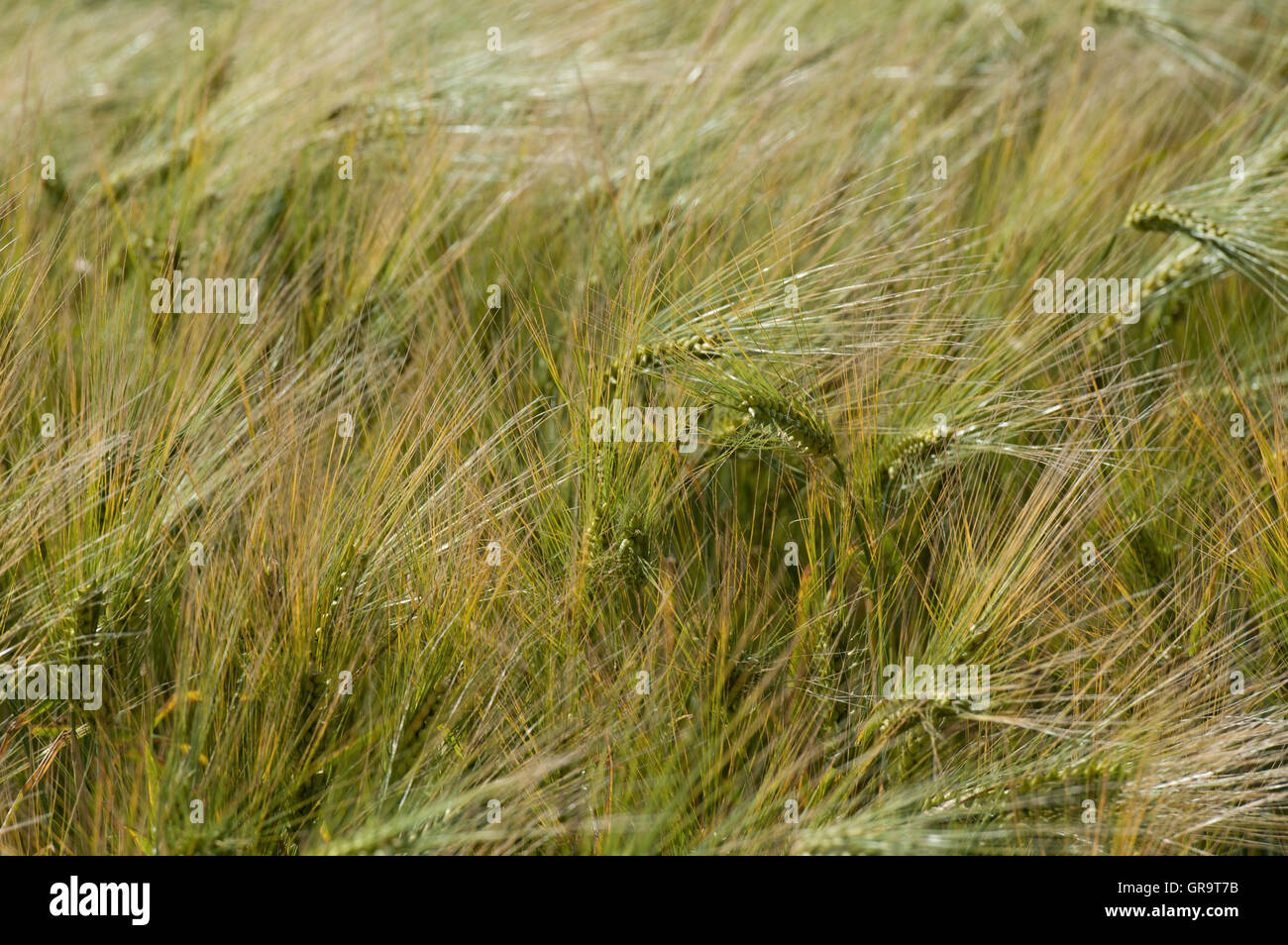 ears of barley swayed by the wind - Stock Image