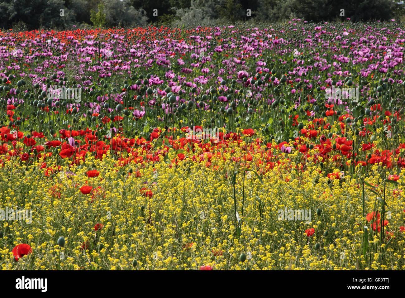 Summery Poppy Field In Burgenland, Austria - Stock Image