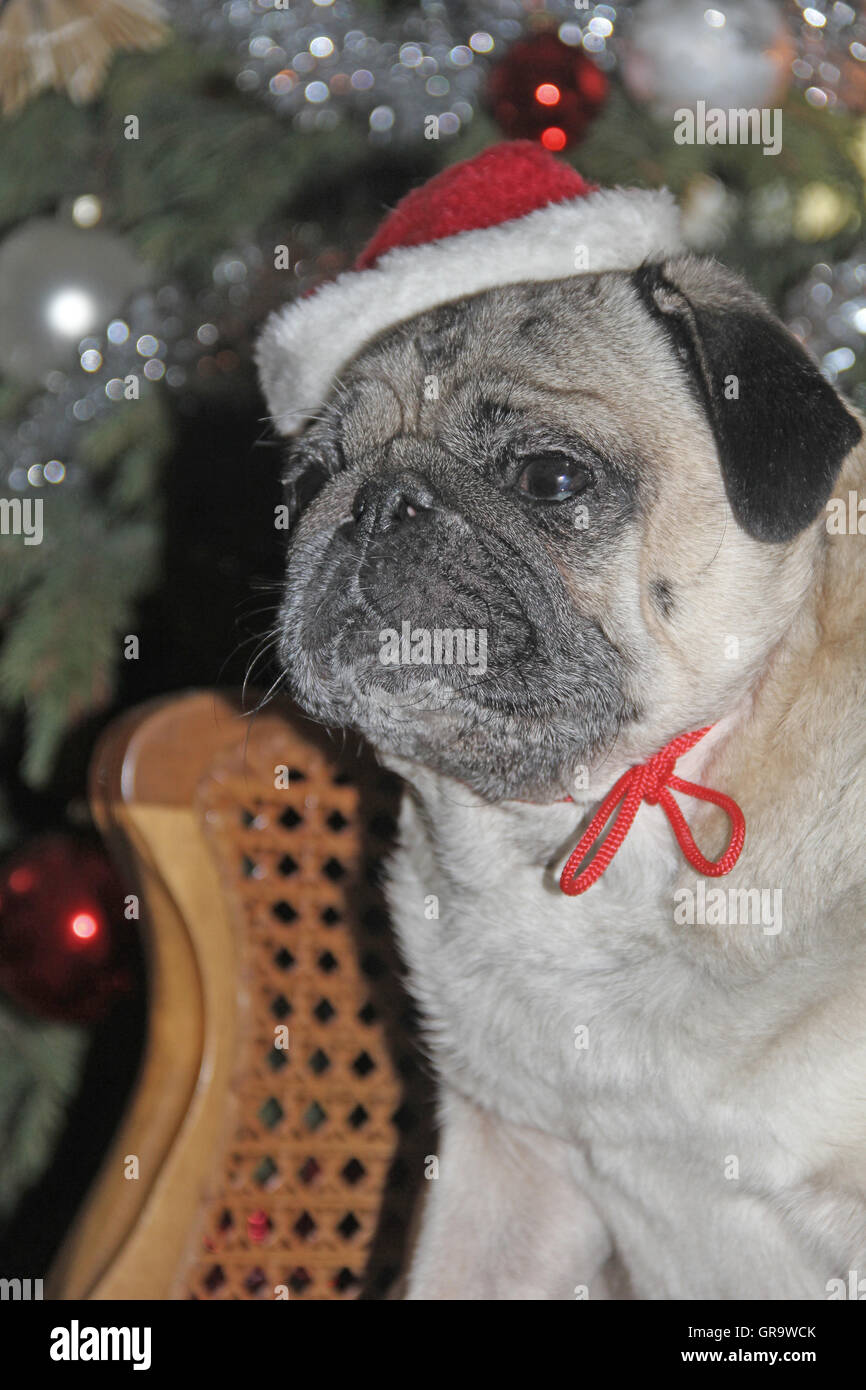 Mops For Christmas With Cap - Stock Image