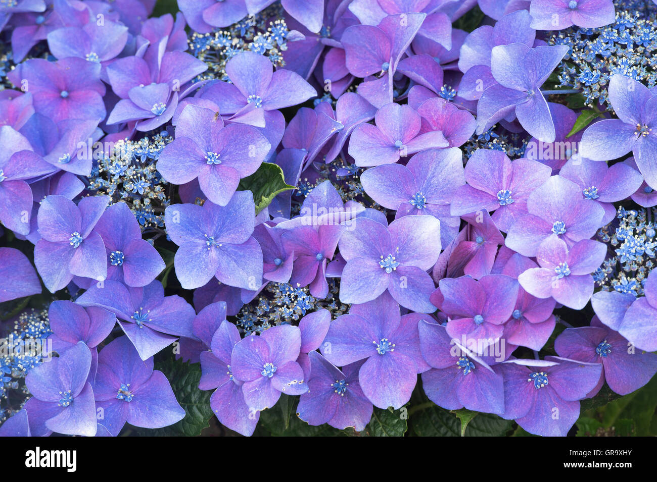 Hydrangea Macrophylla 'Kardinal violet' flowers pattern. Stock Photo