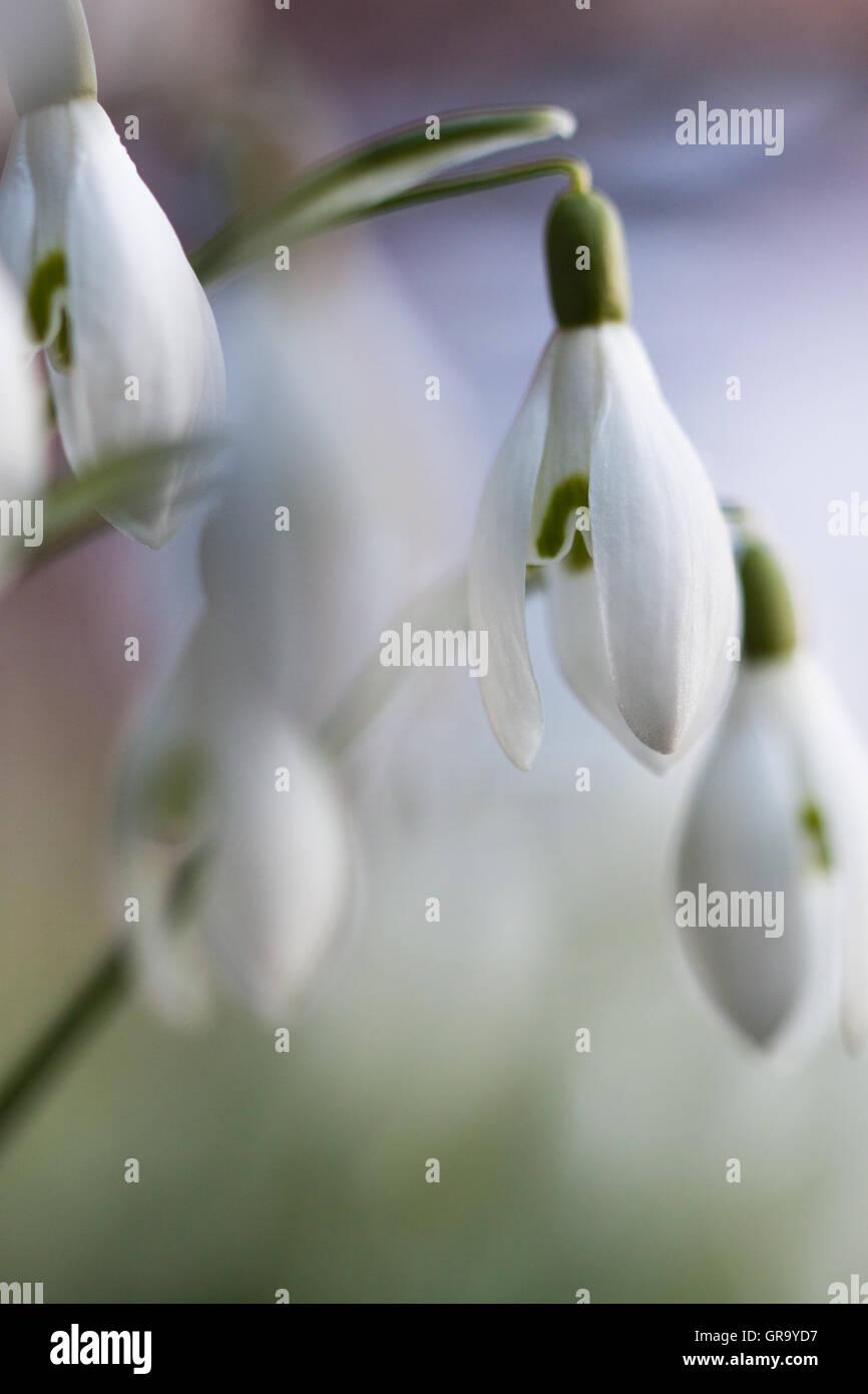 Galanthus Nivalis - Stock Image
