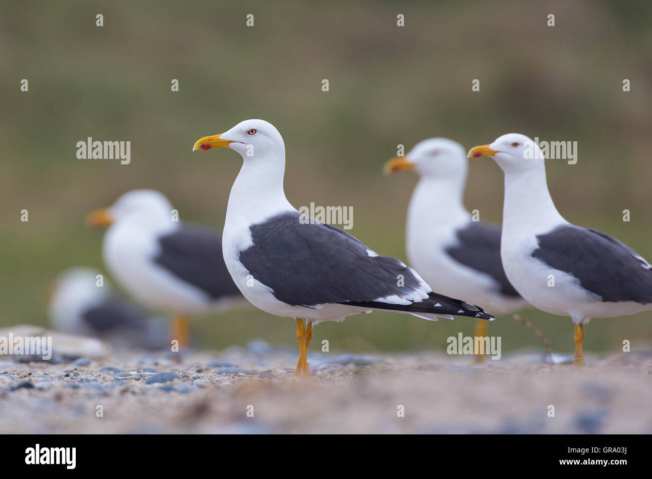 Lesser Black-Backed Gulls Larus Fuss At Their Breeding Colony - Stock Image