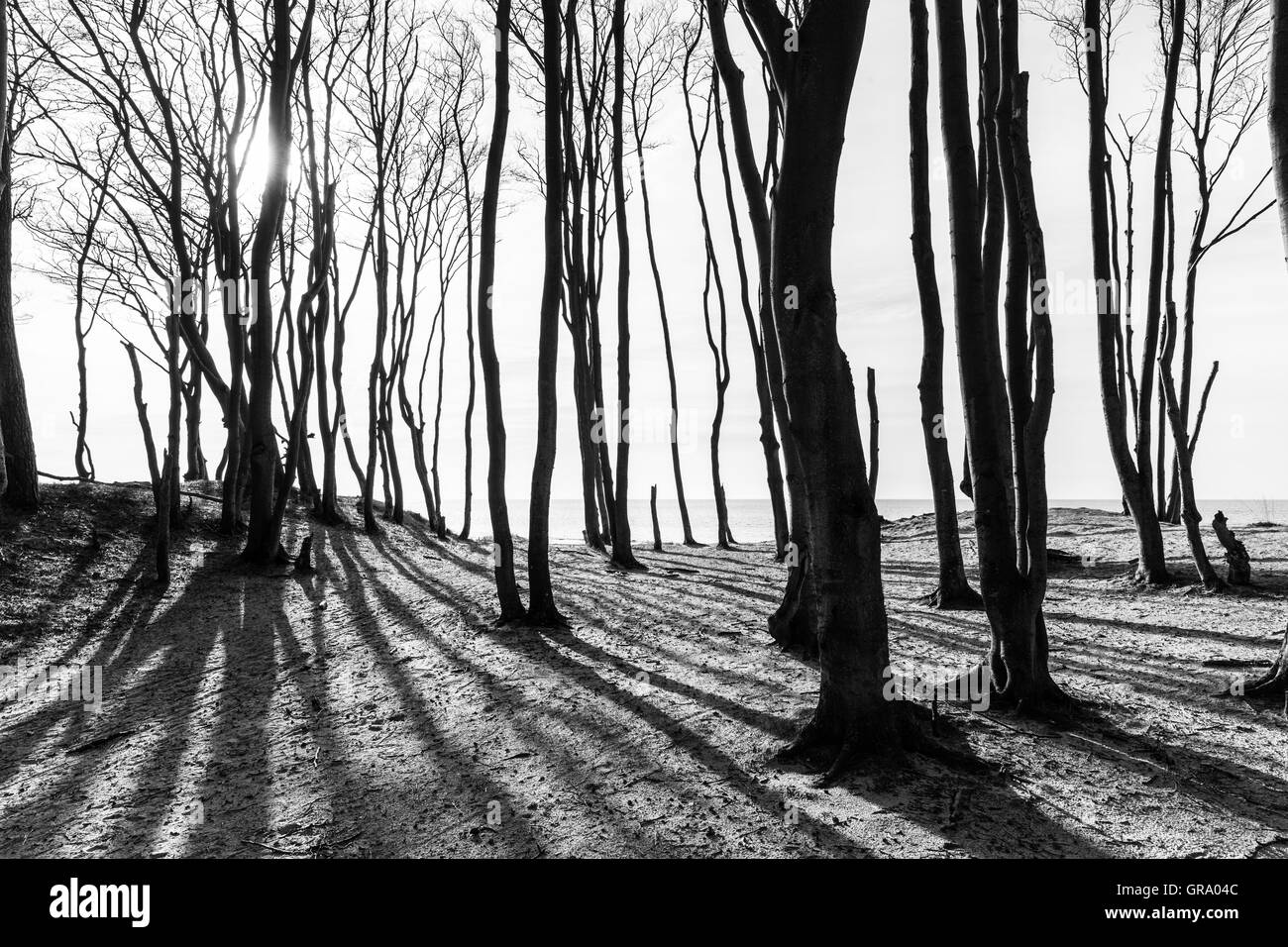 Black And White Picture Of The Forest On The Island Darss - Stock Image