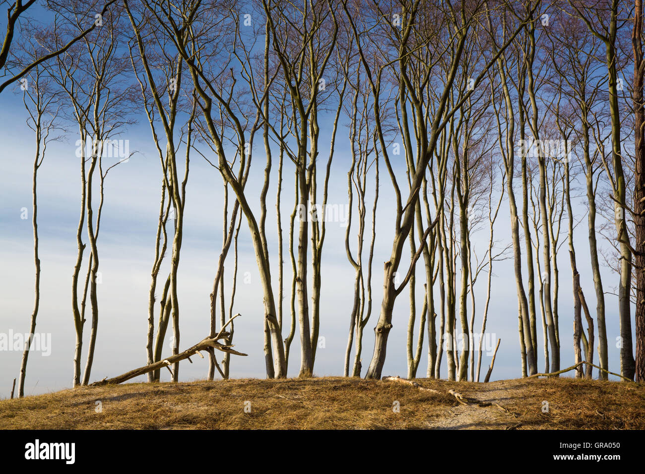 Typical Trees On The Island Darss - Stock Image