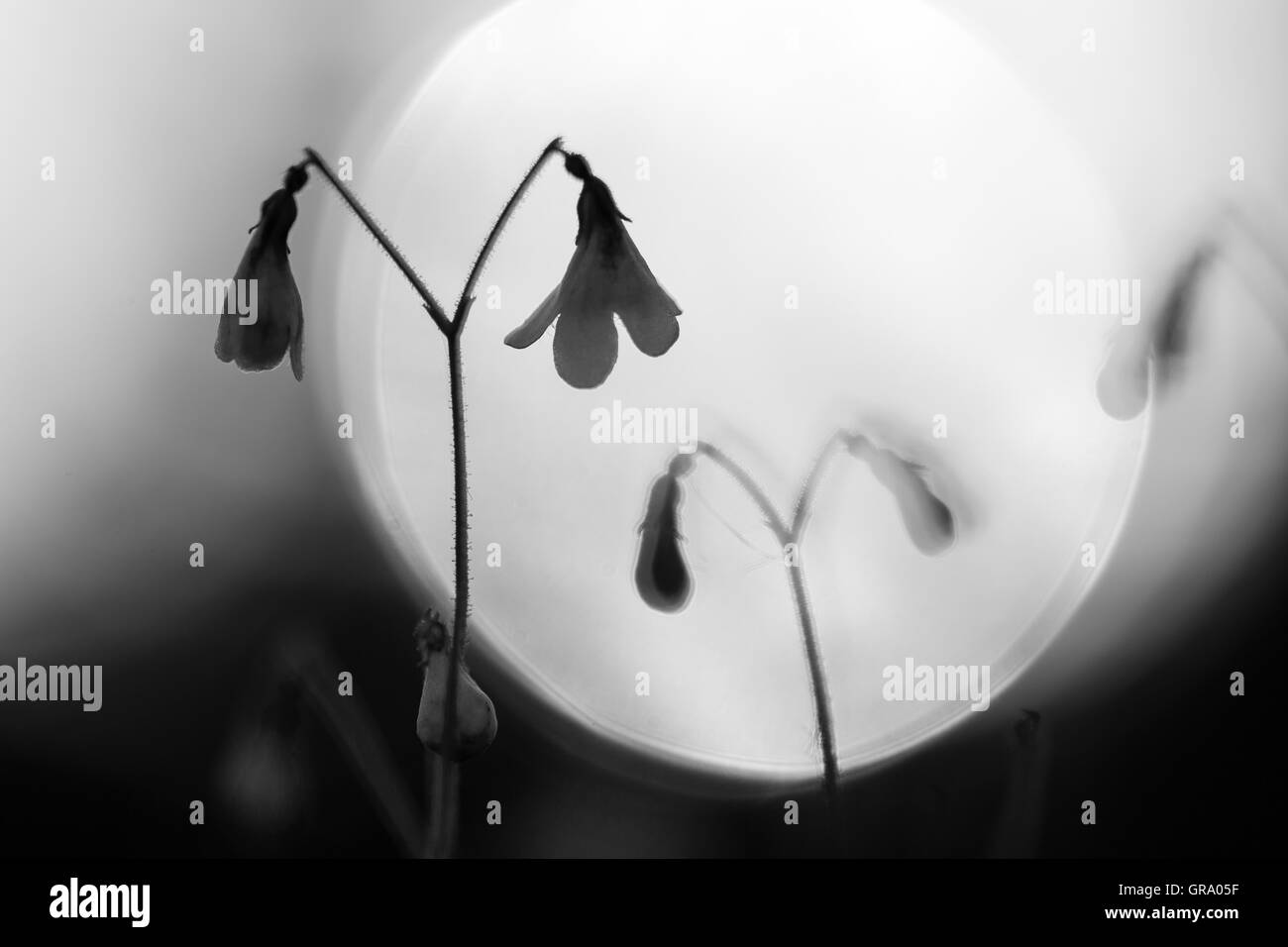 Backlit Black And White Photo Of Twinflower Linnaea - Stock Image